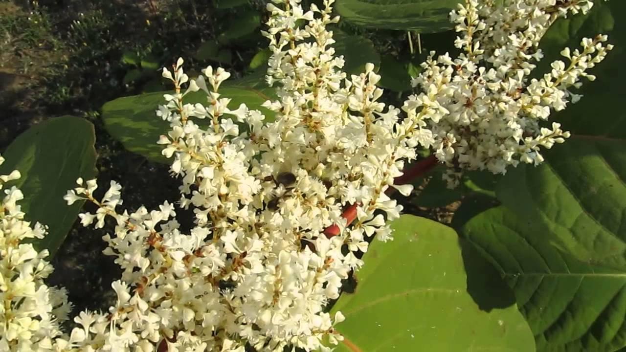 liječenje hipertenzije sophora japonica)