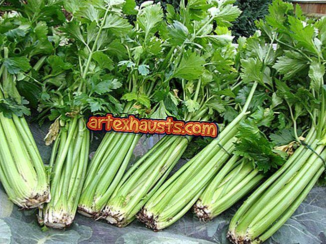 kako koristiti celer u hipertenziji