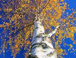 breza katran u liječenju hipertenzije)