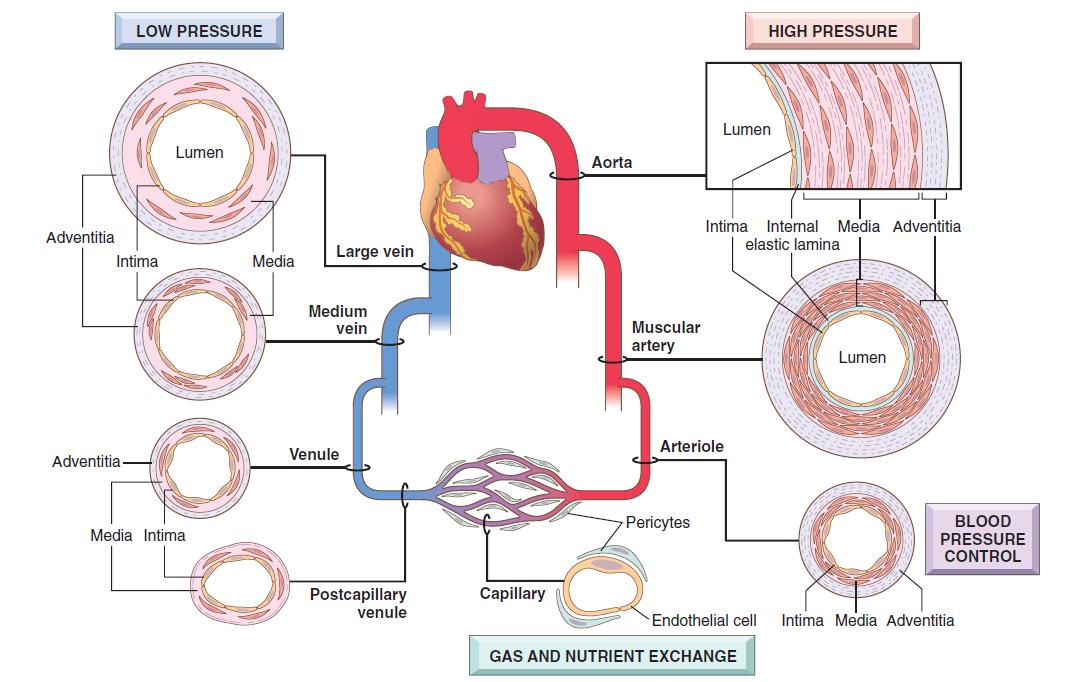 hipertenzija i aterosklerozu)
