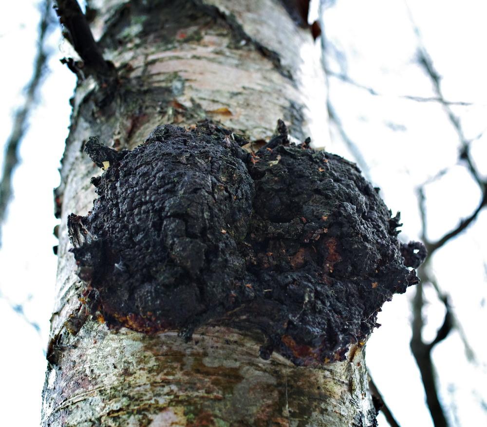 breza chaga hipertenzija)