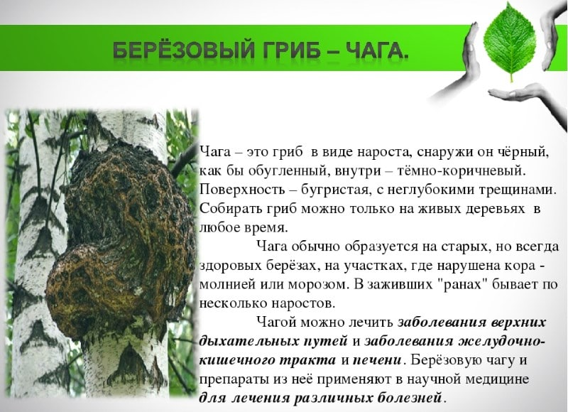 breza chaga hipertenzija