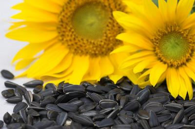 sjemenke suncokreta hipertenzija)