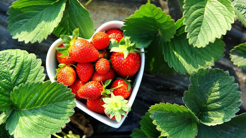 hipertenzije i jagode